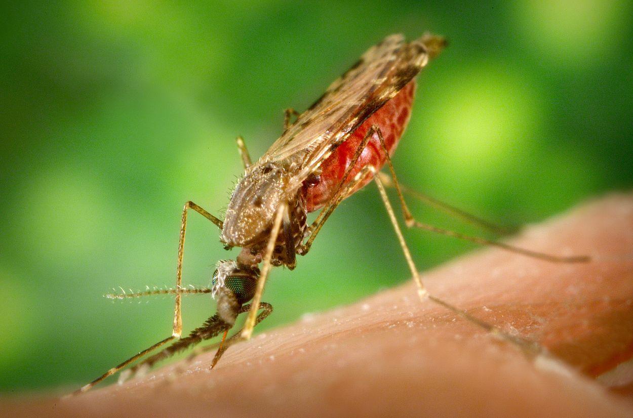 Afbeelding van Eindelijk is er een medicijn tegen malaria dat werkt