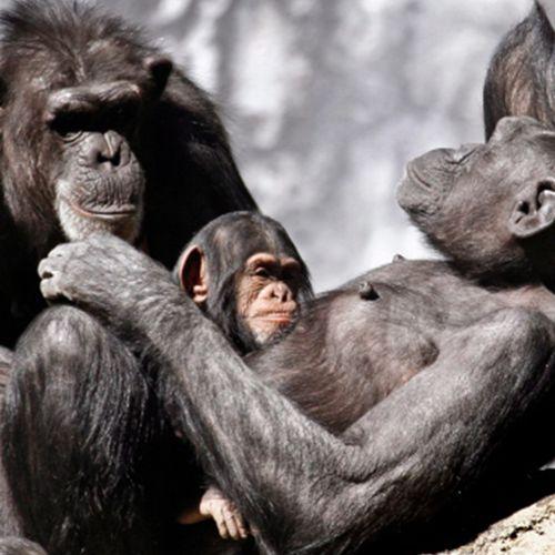 Afbeelding van Apen ontsnappen uit de Belfast Zoo